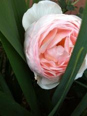 rose emergence